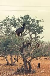 Marokkanische Baumziege