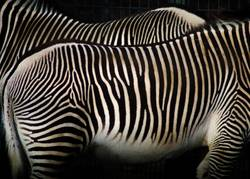 Zebra prints are not alone
