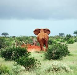 elephant eavesdropping