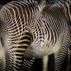 Zebra Club