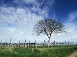 Frühling im Weingarten