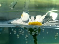 gänseblümchen im aquarium