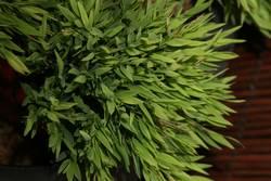 Grass-geflüster