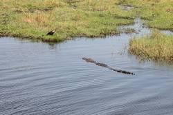Crocodile heading towards bird sitting ashore