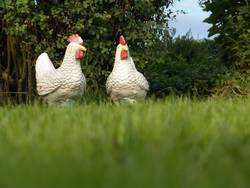 zwei über vogelgrippe diskutierende freilandhühner