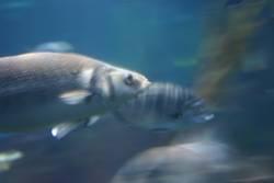Fisch in Motion