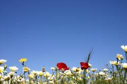 Ibiza Flowers