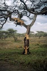 Spielende Löwen Baby