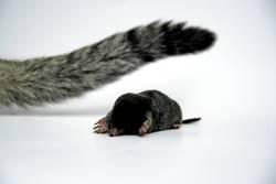 Maulwurf Vs Katze