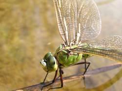 Libelle - Makroaufnahme #2