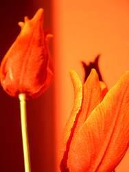 rote Tulpen auf orange