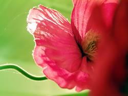 Pinkmohn