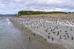 A huge penguin colony on the beach, Beagle Channel, Argentina
