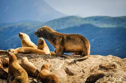 Cute sea on top of a rock, Beagle Channel, Argentina