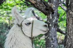 Lama in the woods, El Chalten, Argentina