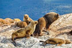 Sea lion family on a rock, Beagle Channel, Argentina