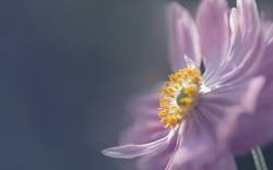 Anemone im Licht