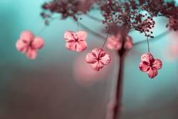 Verblühte Hortensien