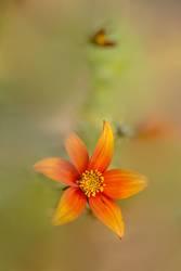 Oranger Blütentraum.