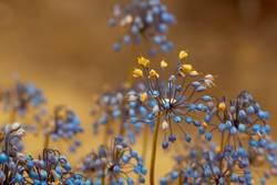 Wilde Zwiebel (Allium Cernuum )