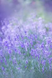 Lavendel im Feld