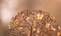 Verblühte Hortensien - Natur