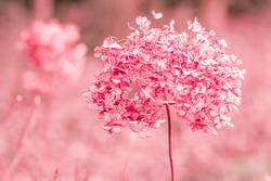 Verblühte Hortensien in Rosa