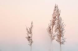 Reedgras
