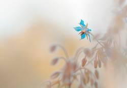 Blüte des Borretsch