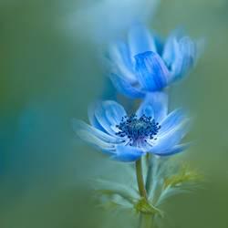 Blaue Anemonen - Blumen und Natur