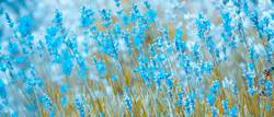 Lavendel in Blau
