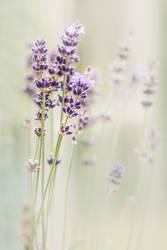 Lavendel ( Lavandula )