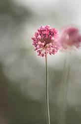 Runder Lauch (Allium rotundum)