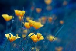 Goldmohn - Natur und Blumen