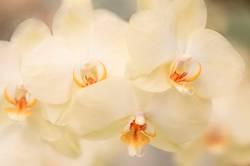 Blumen - Gelbe Orchideen