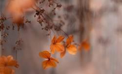 Natur - Verblühte Hortensien