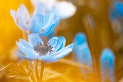 Blaue Garten-Anemonen