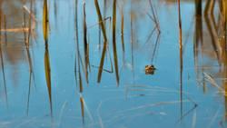Kröte im Teich