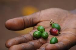 Rohe Kaffeebohnen in der Hand