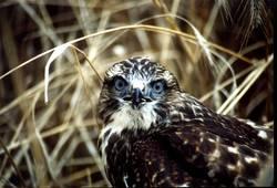Portrait eines Raubvogels