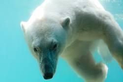 Eisbär - eiskalt