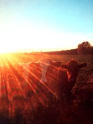 Geblendet von Kühen