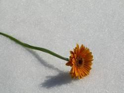 Blume im Schnee 2