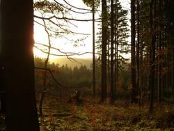 Wald im Gegenlicht II