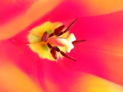 Tulpe Zentrum der Schönheit