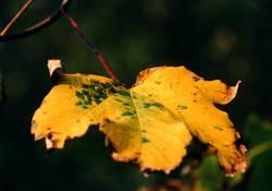 Herbstblatt im Detail