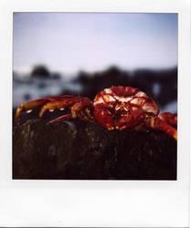 Grapsus grapsus