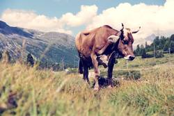 Bernina Cow