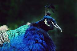 Peafowl 1