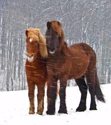 Zwei Islandpferde trotzen dem Schneesturm eng beieinander